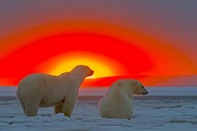 Qürub çağının ağ ayıları - FOTO