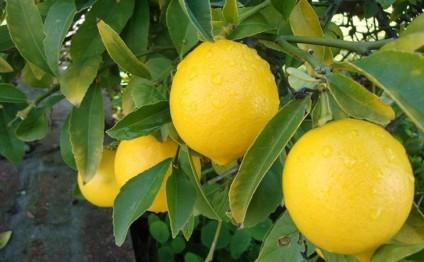 Bir limon 15 manata satılır...
