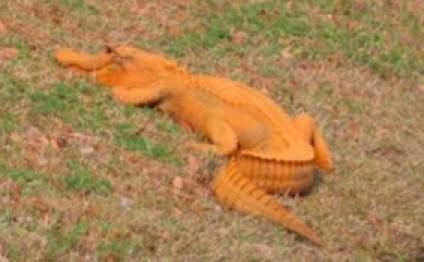 Cənubi Karolinada narıncı rəngli timsah tapılıb